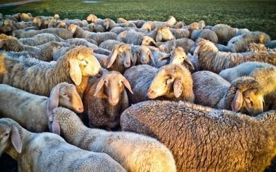 Ihr lieben Schafe …